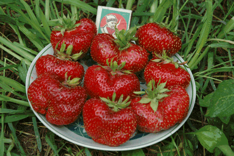Клубника гигантелла: особенности, выращивание и уход