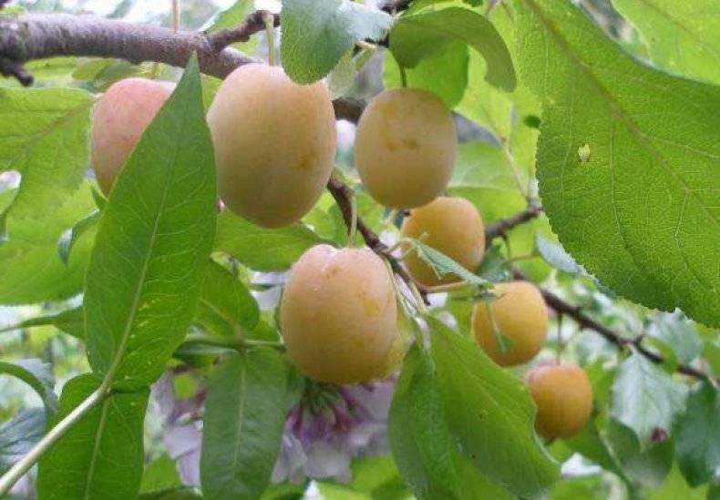 О сливе Утро: описание сорта, агротехника выращивания, особенности ухода