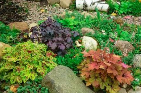 Гейхера: описание, посадка и уход - энциклопедия цветов