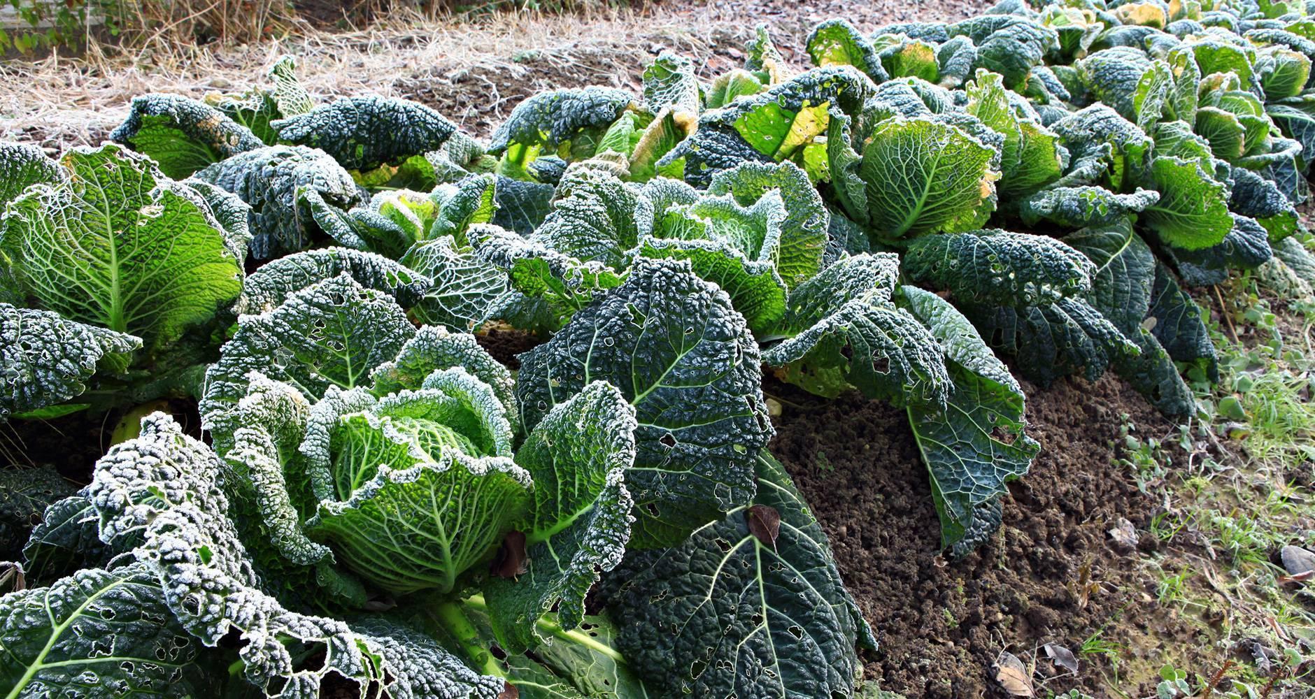 Особенности выращивания и ухода за савойской капустой
