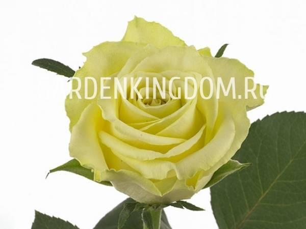 Роза самурай – элитный сорт-воин