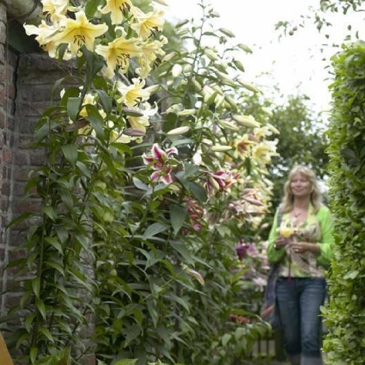 Все популярные сорта садовых лилий – правила посадки и обрезки в открытом грунте