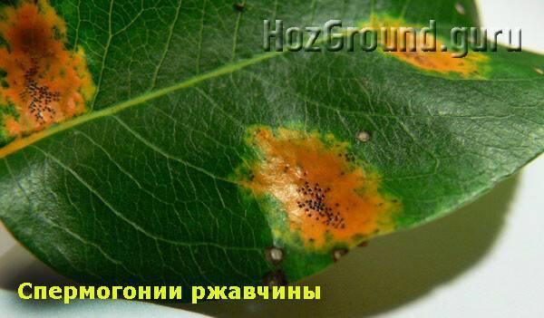 Болезни груши: описание и способы лечения