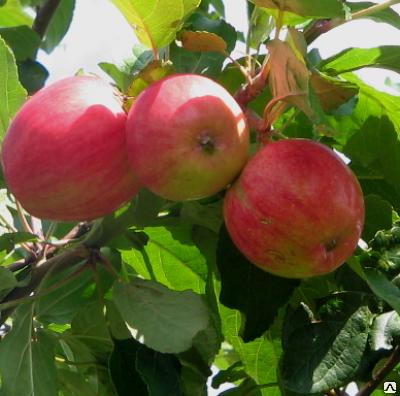 Яблони яндыковские: подробное описание сорта и его особенности, характеристики и тонкости ухода