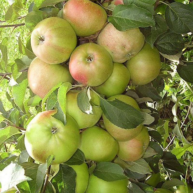 Лучшие сорта колоновидных яблонь – фото и описания