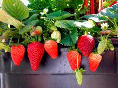 Клубника альбион:уникальный сорт, с которого собирают ягоды всё лето