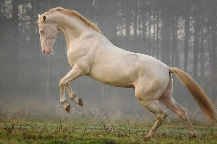 Изабелловая масть лошадей: виды и породы