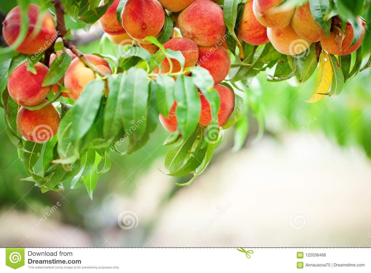 Как правильно выбрать расстояние и посадить персик
