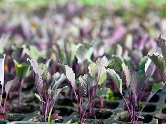 Краснокочанная капуста. полезные свойства, выращивание в открытом грунте