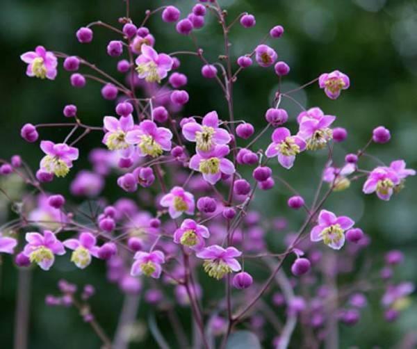 Василистник – травянистое растение для открытого грунта: описание цветка, фото размножения, посадки и ухода в саду