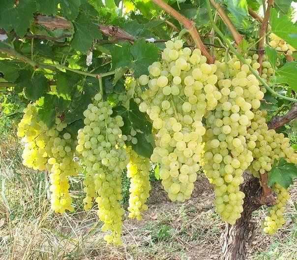 Шпалера для для подвязки винограда: инструкция с размерами и чертежами для изготовления своими руками   (фото & видео)+отзывы