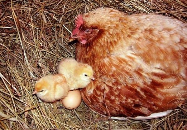 Как отучить курицу от насиживания, видео и фото || как отучить курицу квохтать