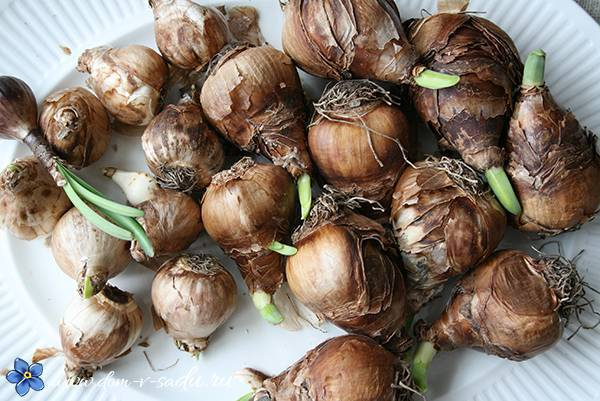 Когда выкапывать и рассаживать тюльпаны, нарциссы и другие луковицы цветов по лунному календарю 2020 года