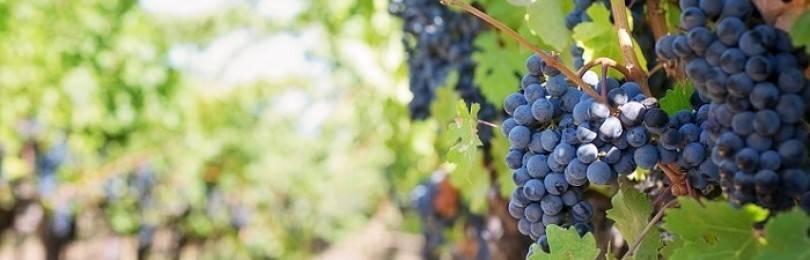 Что делать если виноград не проснулся весной, как разбудить после зимы