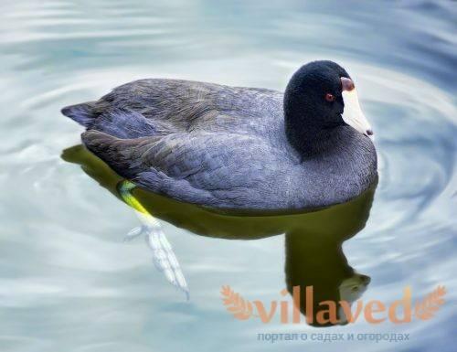 Чёрные утки: белогрудая и белоклювая