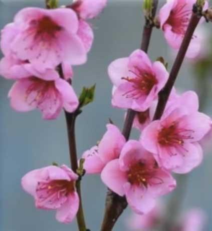 7 опасных болезней персикового дерева — особенности лечения