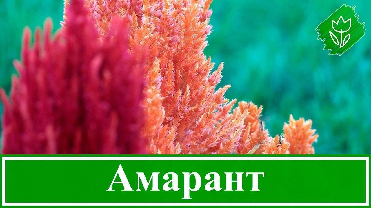 Амарант хвостатый: выращивание и особенности ухода | сажаем сад