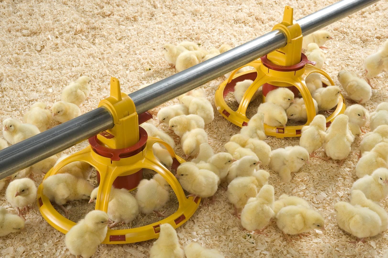 Чем кормить цыплят с первых дней жизни в домашних условиях