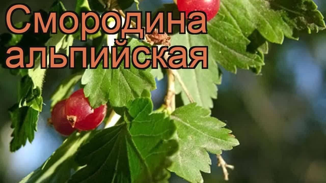 Смородина кроваво-красная: описание лучших сортов и правила посадки и ухода с фото